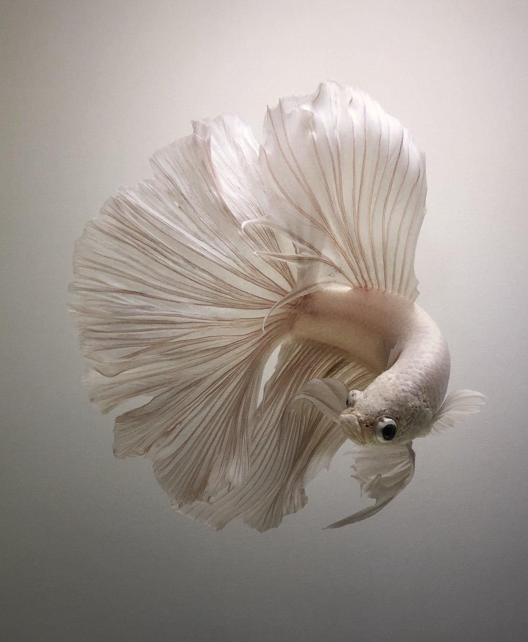 นิทรรศการภาพถ่ายปลากัดไทย ความงามแห่งสยาม
